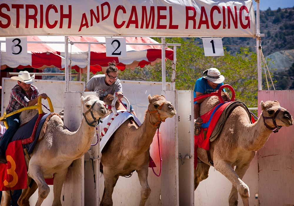 INTERNATIONAL CAMEL AND OSTRICH RACES - Virginia City Summer Activities